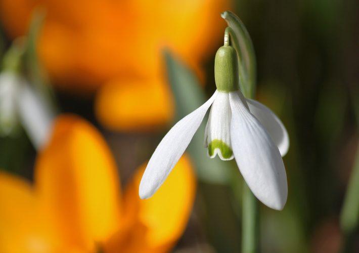 Wiosenne kwiaty - przebiśnieg