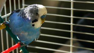 Papużka falista w klatce